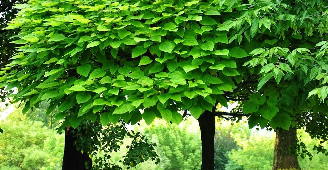 drzewo liściaste